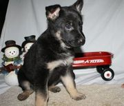 Potty Trained German Shepherd Dog puppies for sale