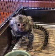 JFDR Pairs Capuchin pygmy marmoset available 07031956739